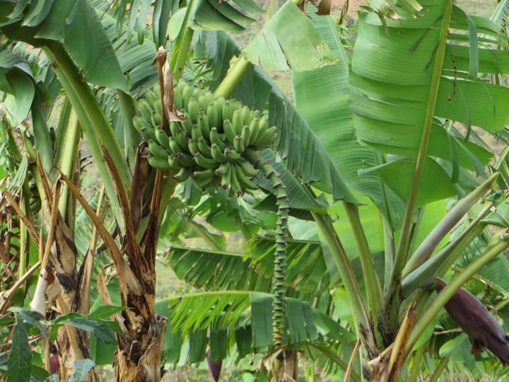 Banana/バナナ