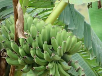 Banana バナナ
