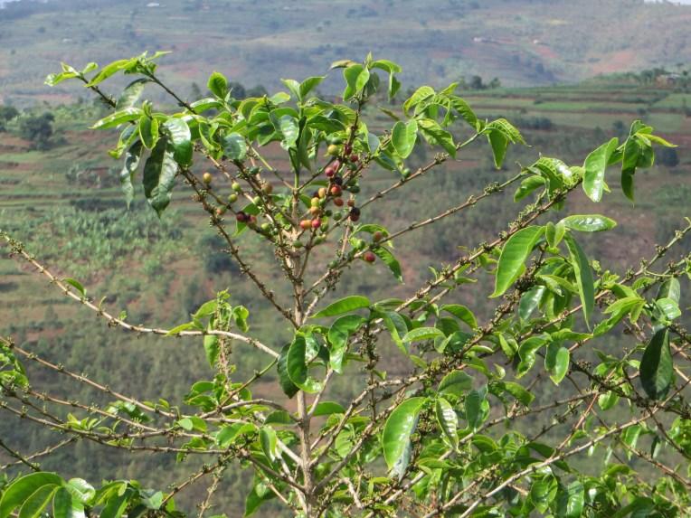 Arabian coffee/ アラビアコーヒー