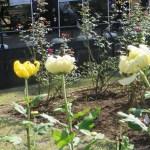 まだ咲き始めの菊(大輪系)