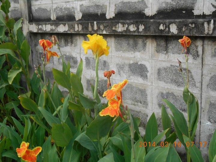 道路わきのカンナの花