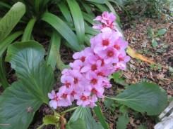 Himalayan creeping saxifrage/ ヒマラヤユキノシタ