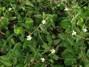 コトブキギクの花の様子