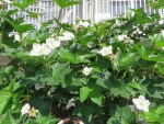 Rubus trifidus/ カジイチゴ