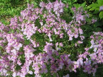 薄紫色のリナリア