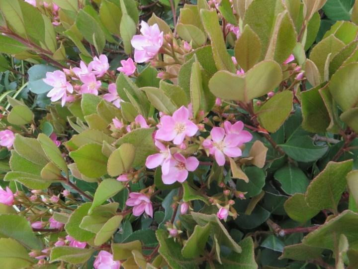 シャリンバイの花 ピンク色系
