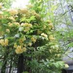 モッコウバラの花と枝の様子