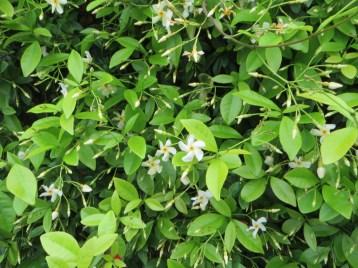 テイカカズラの花全体の様子