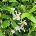 Asiatic jasmine/ テイカカズラ