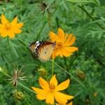 キバナコスモスとタテハチョウ