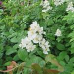 ノイバラの花