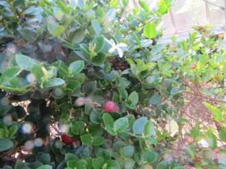 カリッサ・カランダスの花と果実