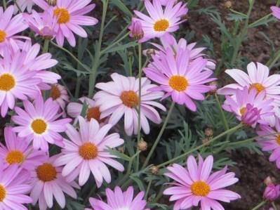 紫色のマーガレット 花のアップ