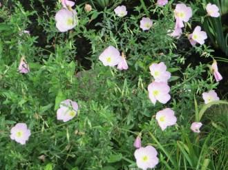 ヒルザキツキミソウ 花の様子