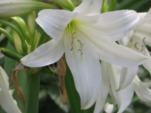 インドハマユウ 花のアップ