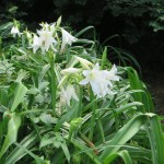 インドハマユウ花の姿
