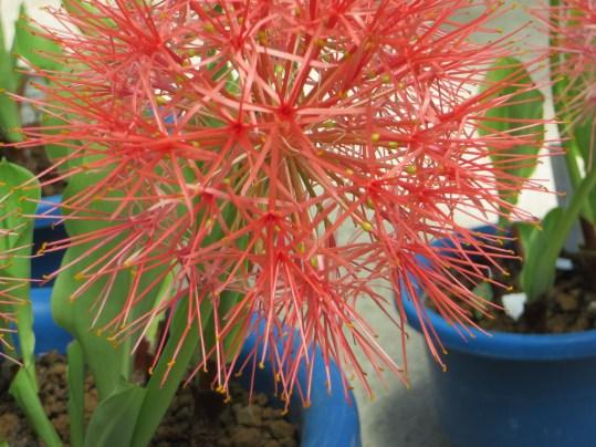 センコウハナビ 花のアップ