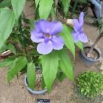 Thunbergia cv.Augusts blus/ ツンベルゲア アウグスツス・ブルー
