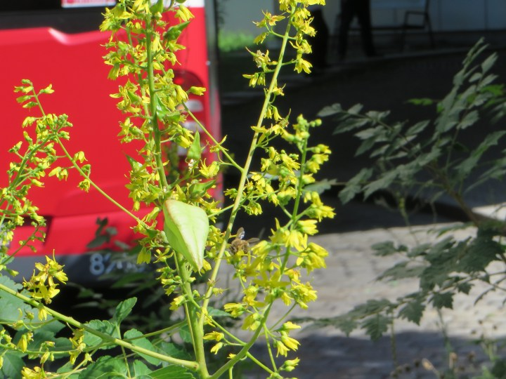 モクゲンジの花