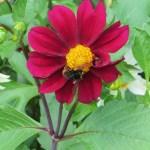 ダリア Garden dahlia