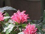 Brazilian plume flower/ ウスイロサンゴバナ