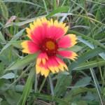 ガイラルディア テンニンギクの花のアップ
