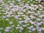 Blue daisy/ ブルーデージー