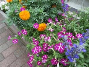 ペチュニアの花 ピンクと白