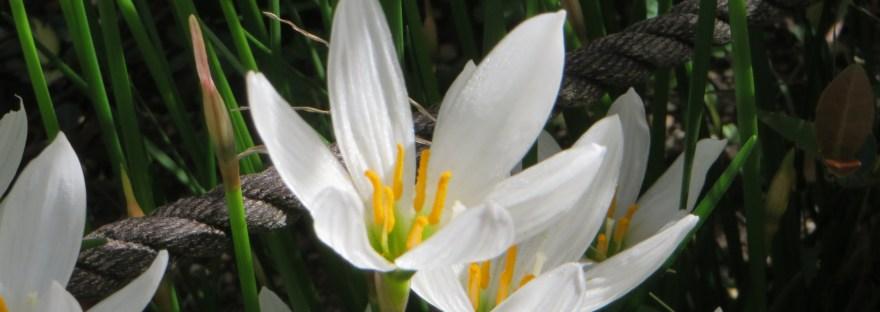 white rain lily/ タマスダレ