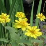 黄色のヒャクニチソウ