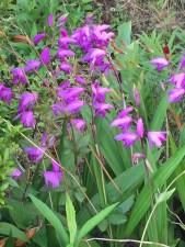 シランの花の様子