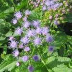 ユーパトリウム・コエレスティナム/ セイヨウフジバカマの花