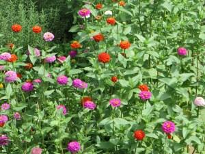 花壇の様々な色のヒャクニチソウ