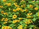 メランポデュームの花