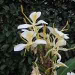 ハナシュクシャ 白色花のアップ