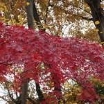 Maple/ カエデ