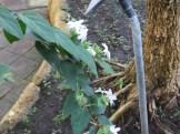 スタージャスミンの花の様子