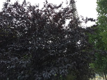 ヨーロッパブナとエッフェル塔