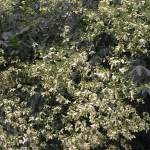 エンジュの花の姿