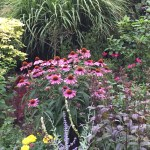 エキナセア 花壇の中のムラサキバレンギク