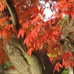 紅葉したハゼノキの葉