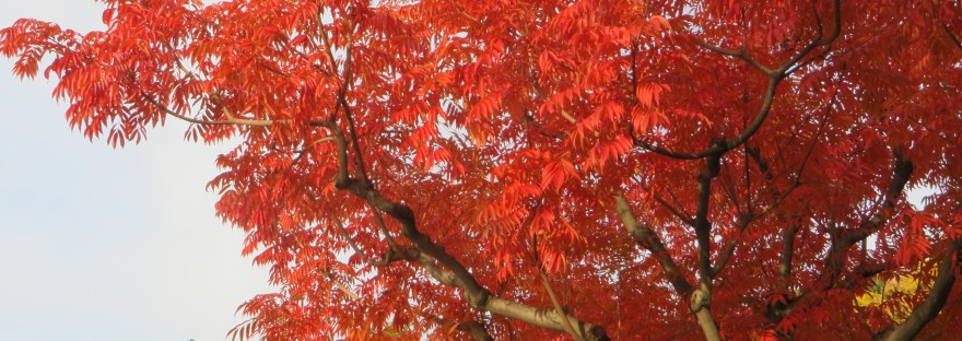 Japanese wax tree/ ハゼノキ