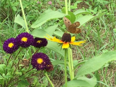オオハンゴンソウにとまるジャノメチョウ