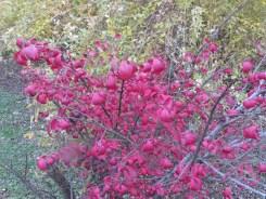ニシキギ 木の様子