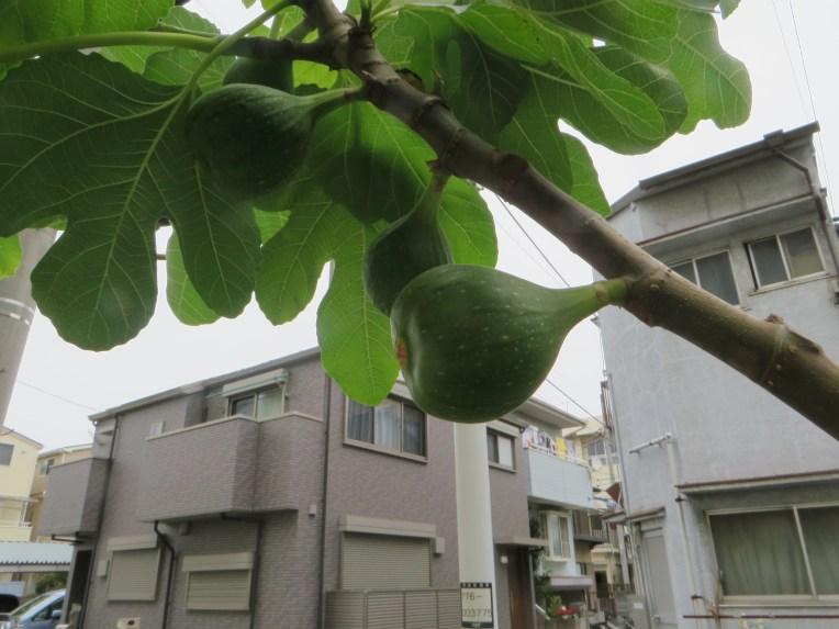 Fig/ イチジク