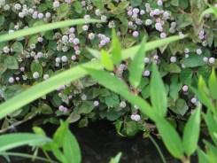 ヒメツルソバの花の様子