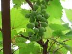 Grape/ ブドウ
