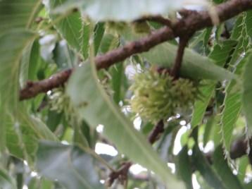 Sawtooth oak/ クヌギ