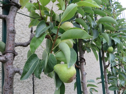 European pear/ セイヨウナシ
