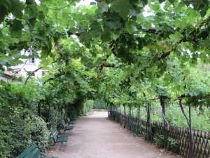 棚仕立てのブドウ
